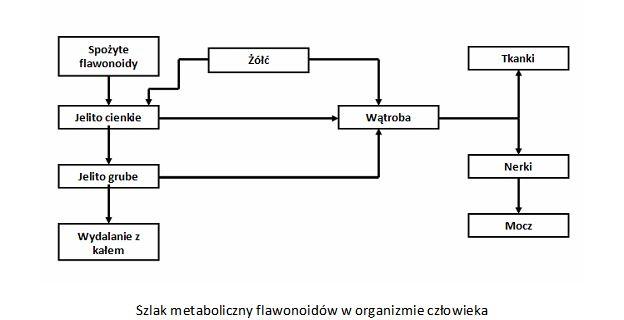 flawonoidy metabolizm w organizmie człowieka